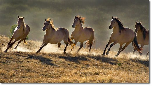 Australian researchers look into alternative forages for - Wild horses running wallpaper ...